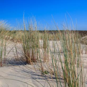 Oyats dans les dunes de Hourtin Plage